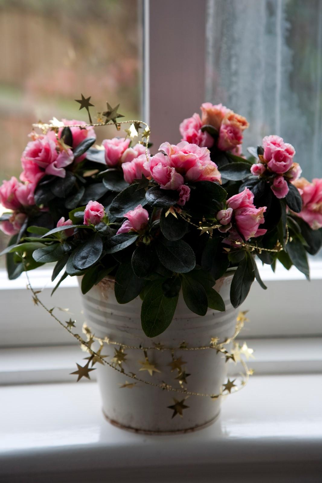 Mørkegrønne blader og rosa roseformede blomster.