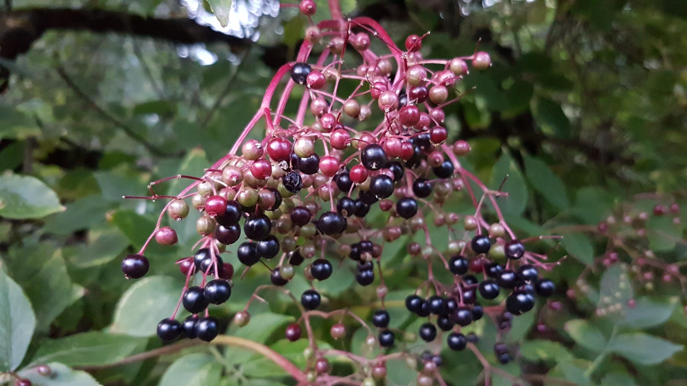 Blåsvarte, ertestore bær og mørkegrønne blader.