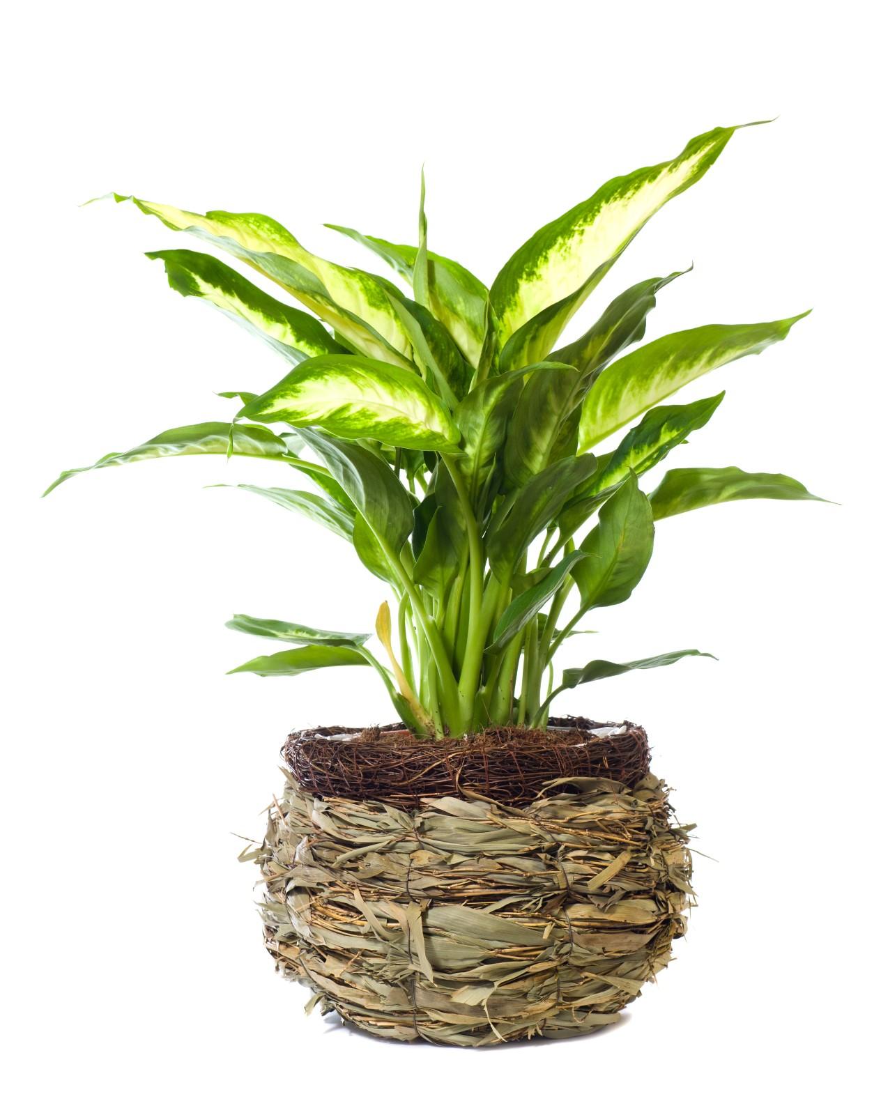 Plantene har grønne blad med prikker eller tegninger i hvitt, lysegult eller lysegrønt.