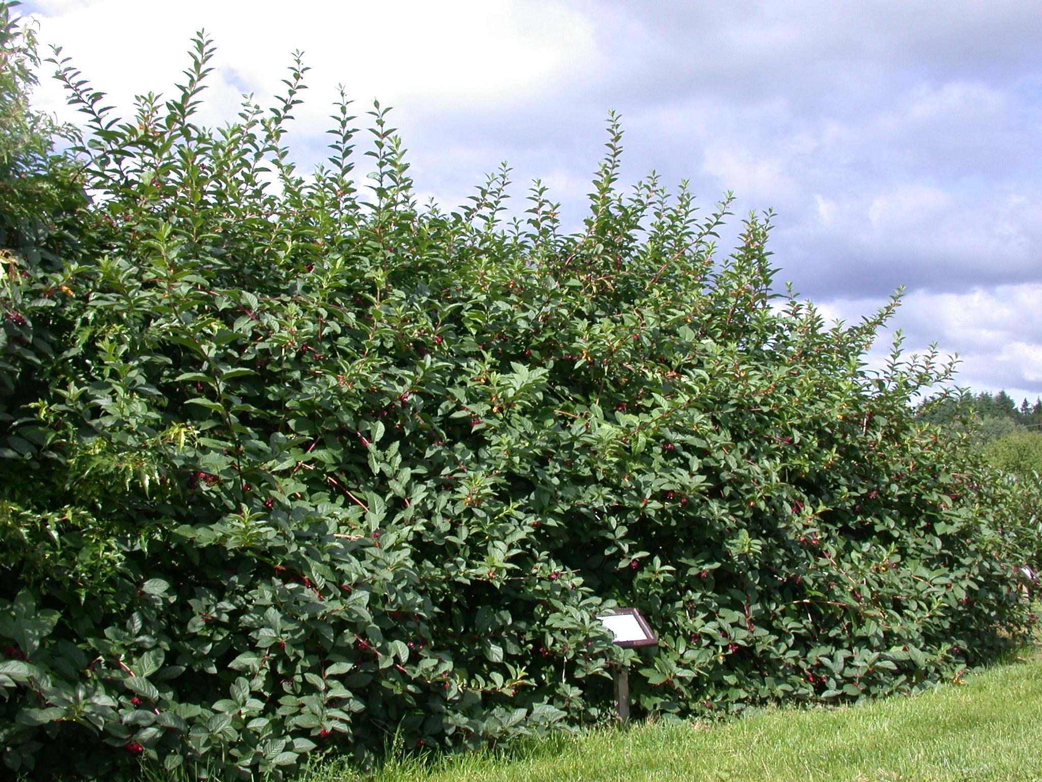 Store og brede busker av skjermleddved.