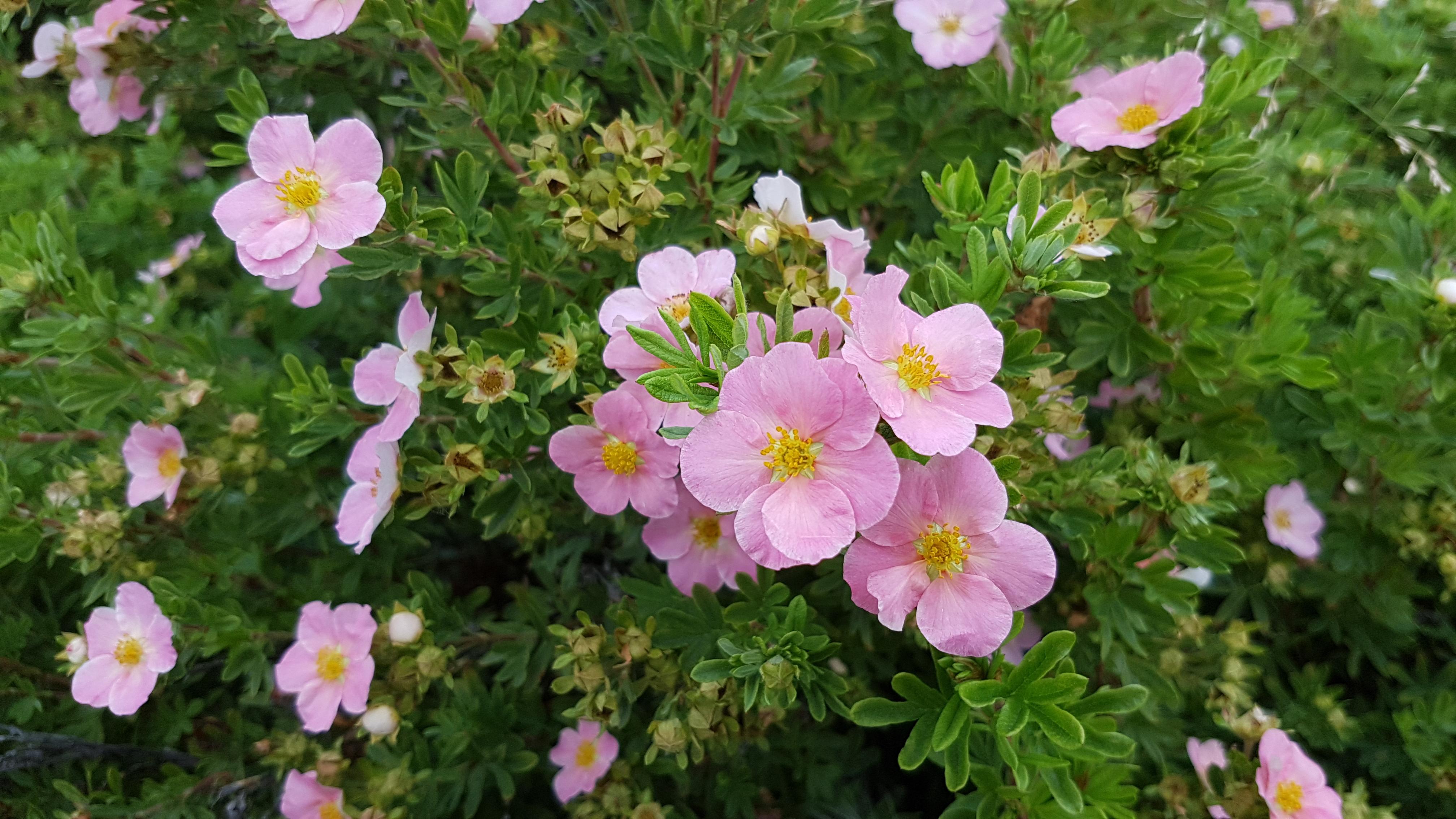 Små, grønne blader med enkle rosa kronblader.