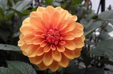 En gul/oransje georgine med dyp farge i kjernen