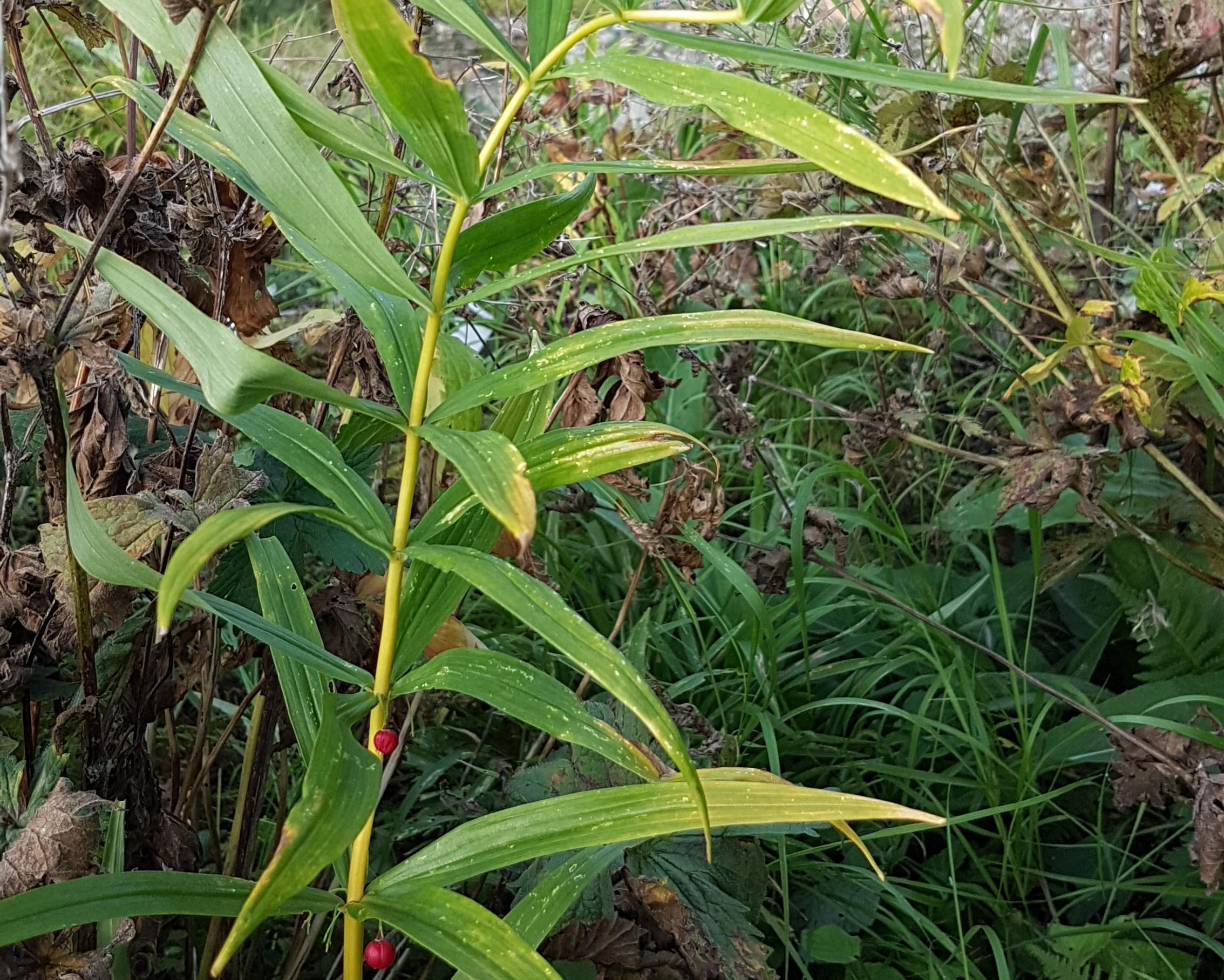 Nåleformede grønne og gule blader som er  kransstilte