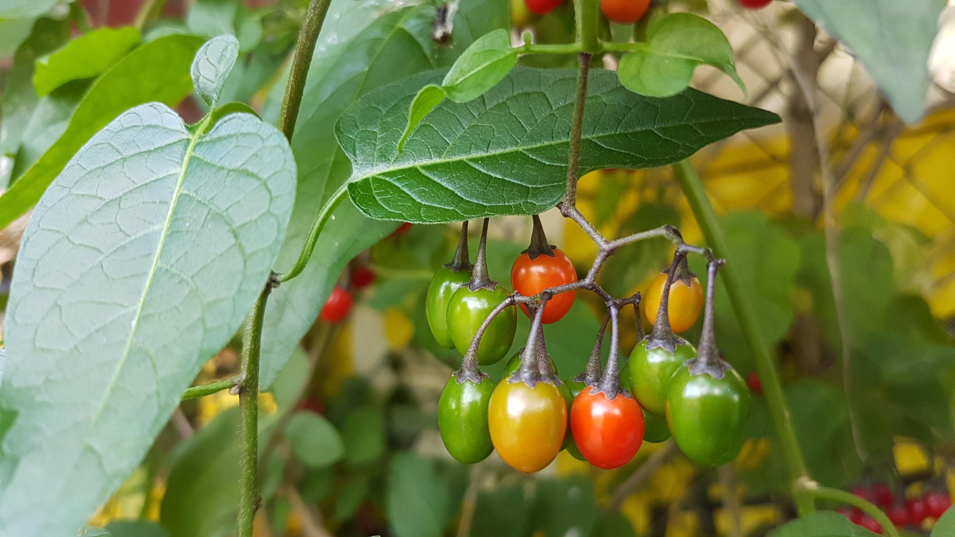 Dråpeformede bær i grønt, gult og rødt.