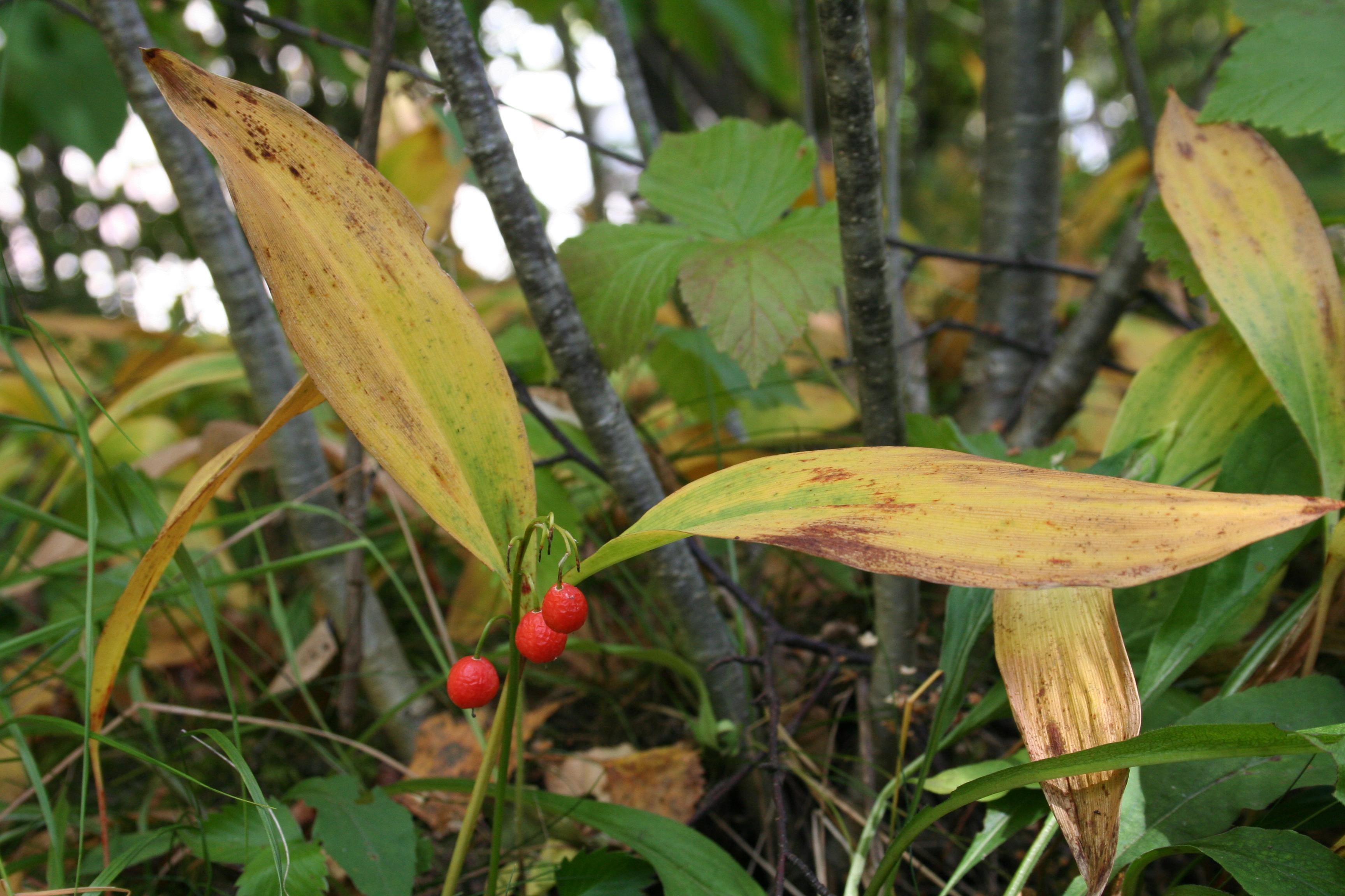 Beigebrune blader med kraftig røde bær.