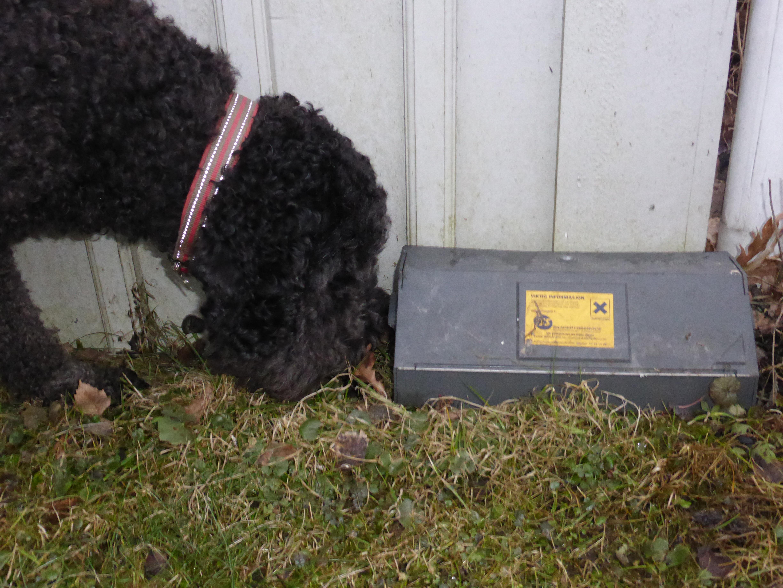 Hund som snuser på en boks med rottegift