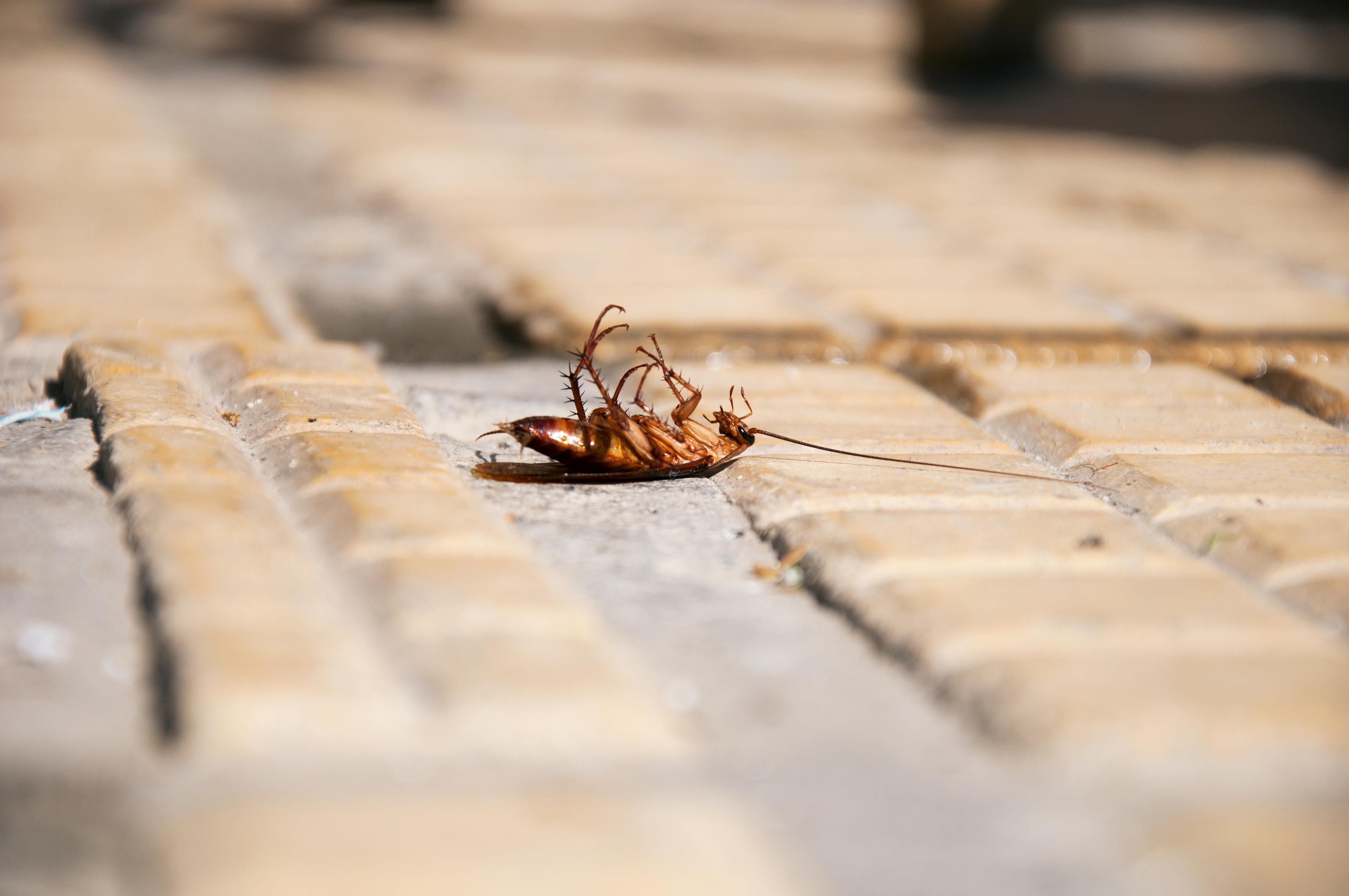 Kakerlakker kan ødelegge mye.