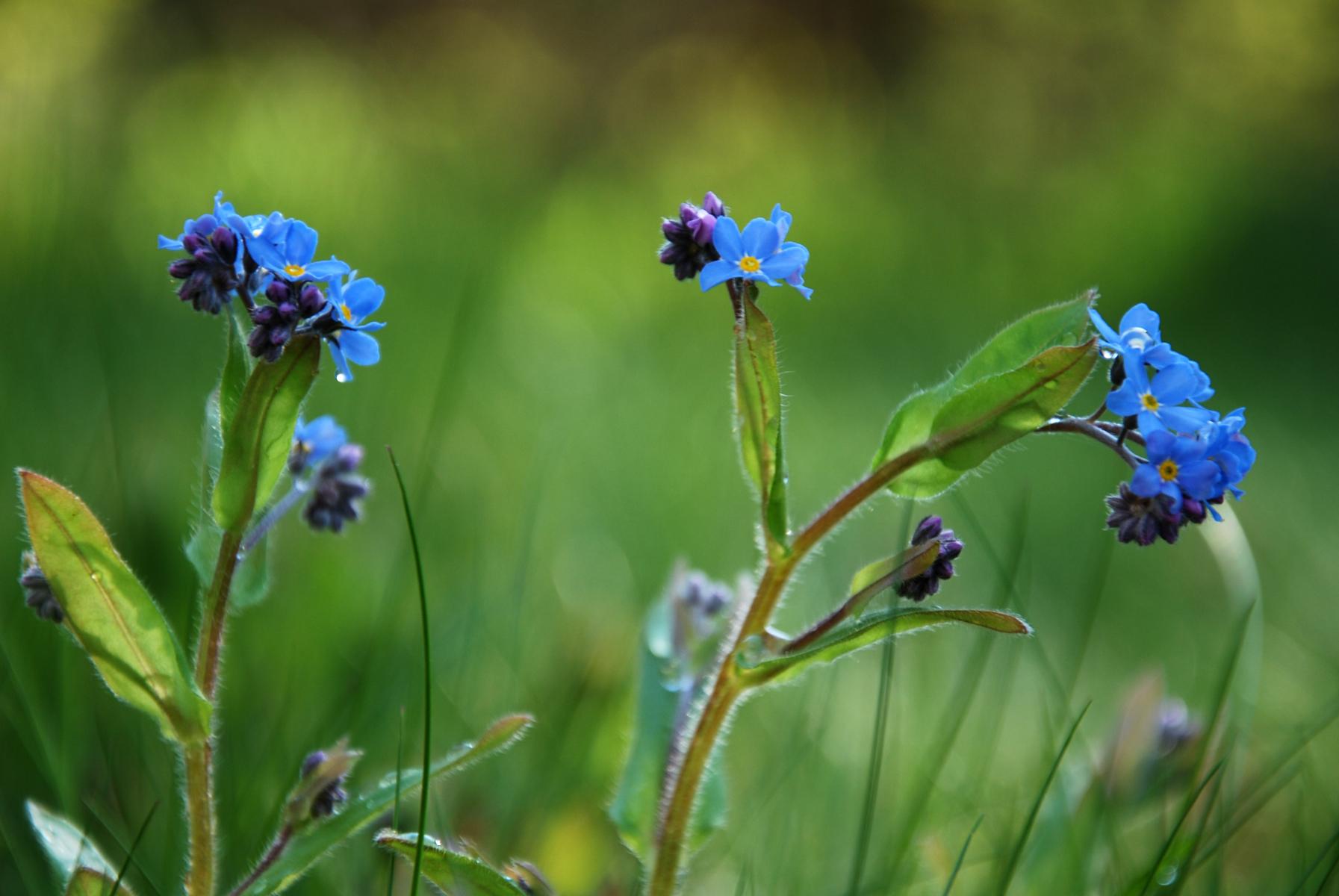 Blomst med små blålilla kronblad, gul i midten og med hårete stengel