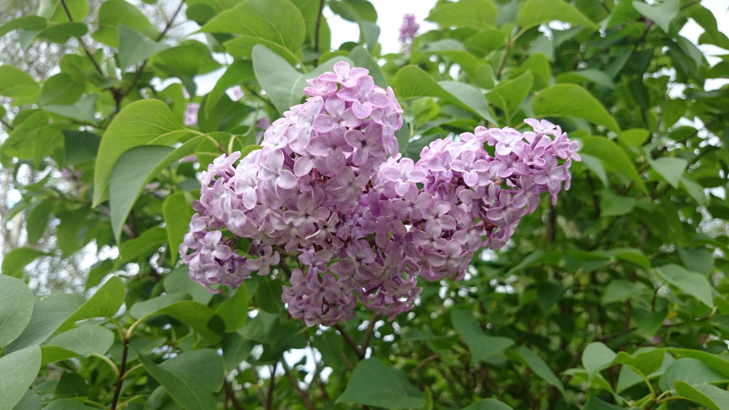 Syrinbusk med hjerteformede blader, fiolette blomster